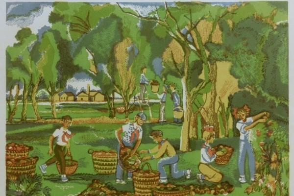 Пионеры на уборке яблок